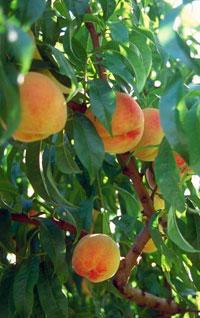 blog-peaches.jpg