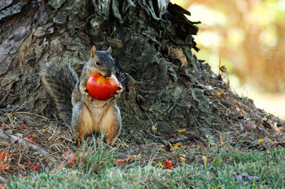 squirrel tomatoes 2