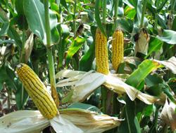 corn ears.jpg