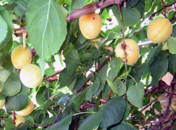 close-apricots-web.jpg